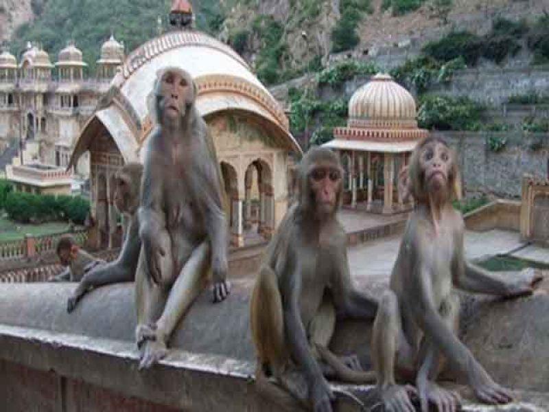 بھارت میں بندروں کے حملے میں مندر کا پنڈت ہلاک