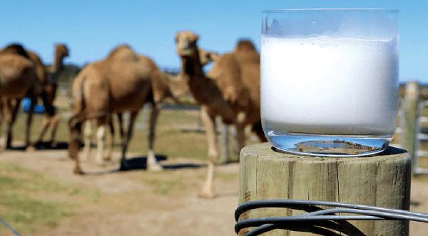 اونٹنی کا دودھ ذیابیطس میں مفید قرار